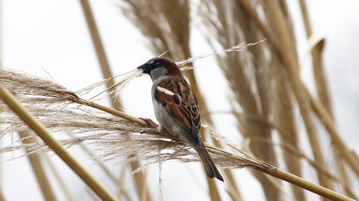 Afbeelding van Het verzamelen van nestmateriaal