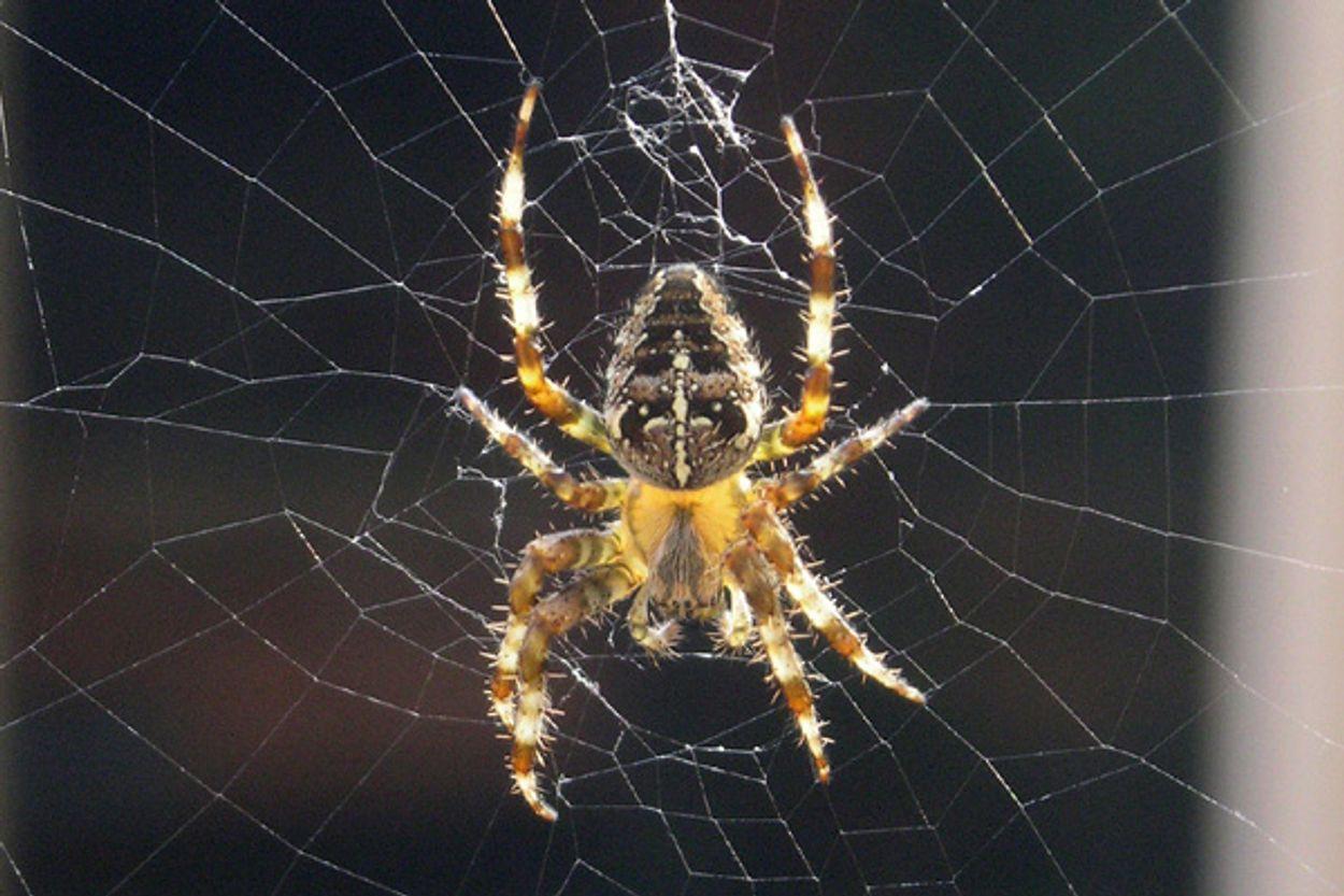 Afbeelding van Slecht spinnenjaar?