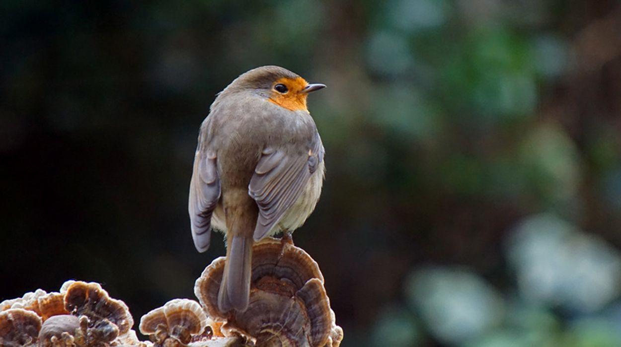 Afbeelding van Cursus vogelzang: roodborst