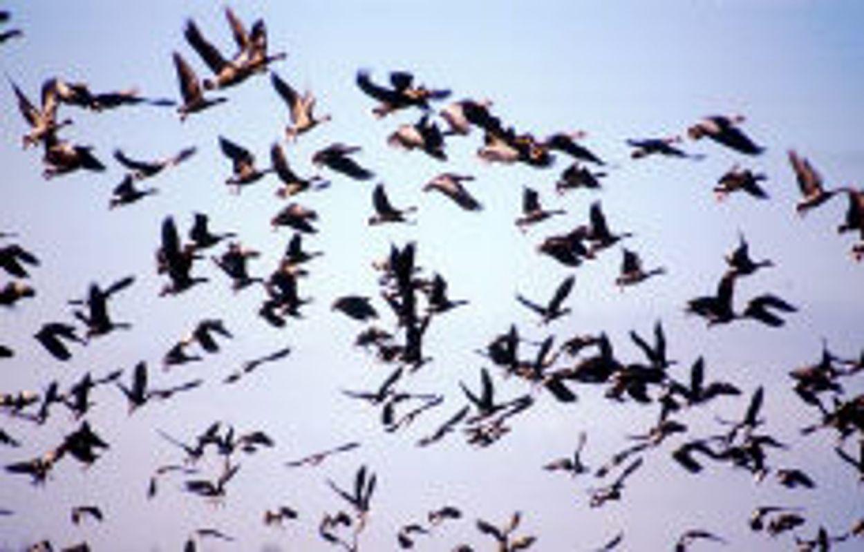 Afbeelding van Stop vangen en vergassen ganzen