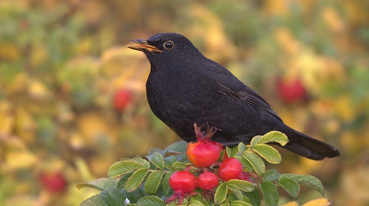 Afbeelding van Vlaamse vogelbescherming vermoedt usutu-virus