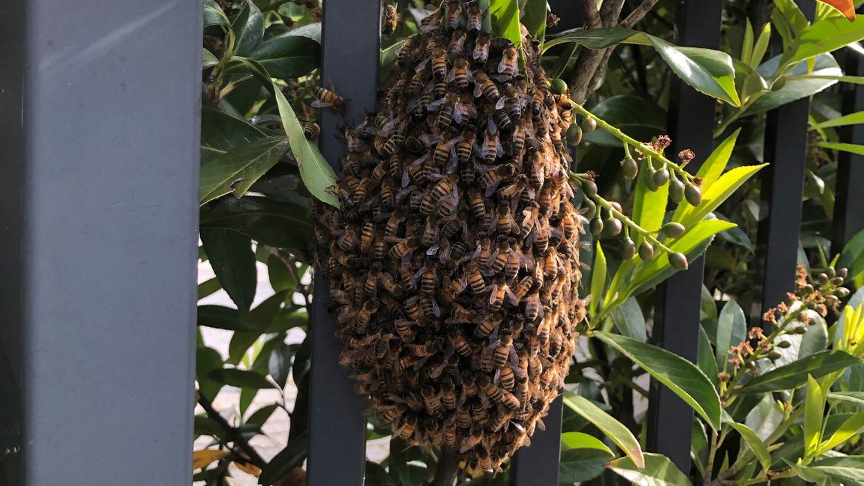 Afbeelding van Zwermende bijen