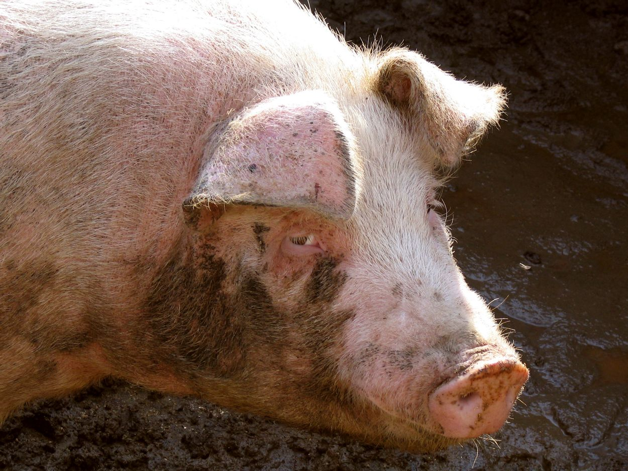 Afbeelding van Varkens willen modder