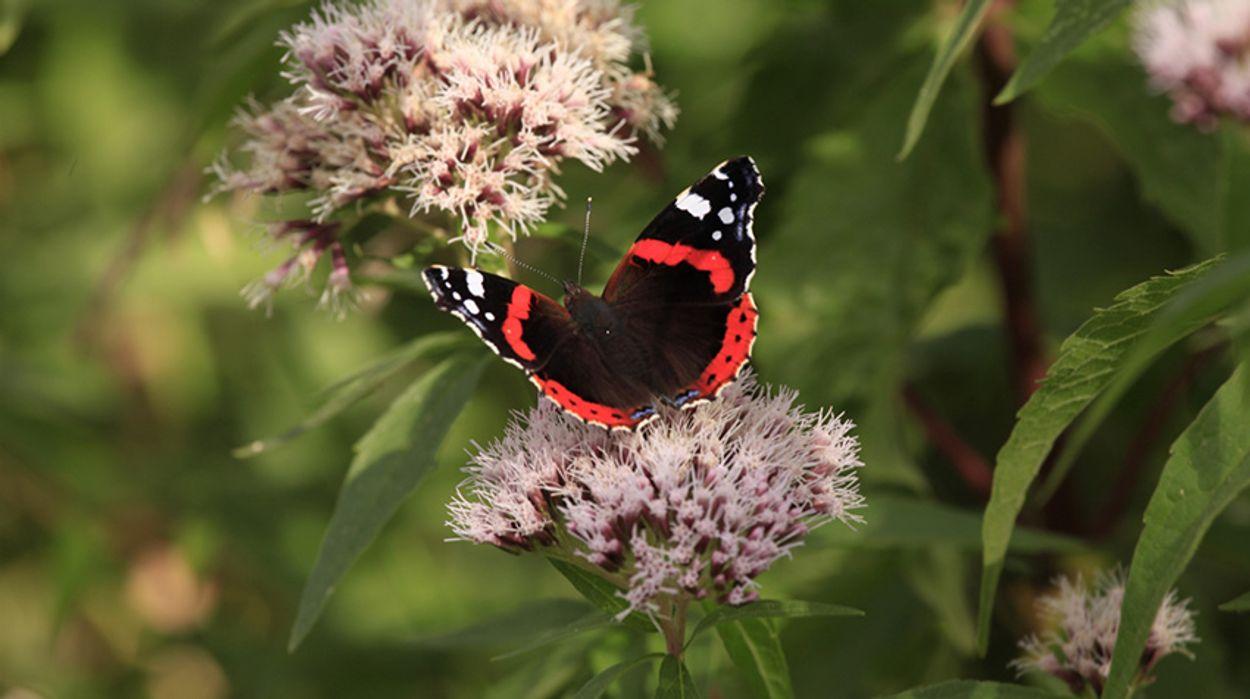 Afbeelding van Atalanta vaakst gezien tijdens vlindertelling