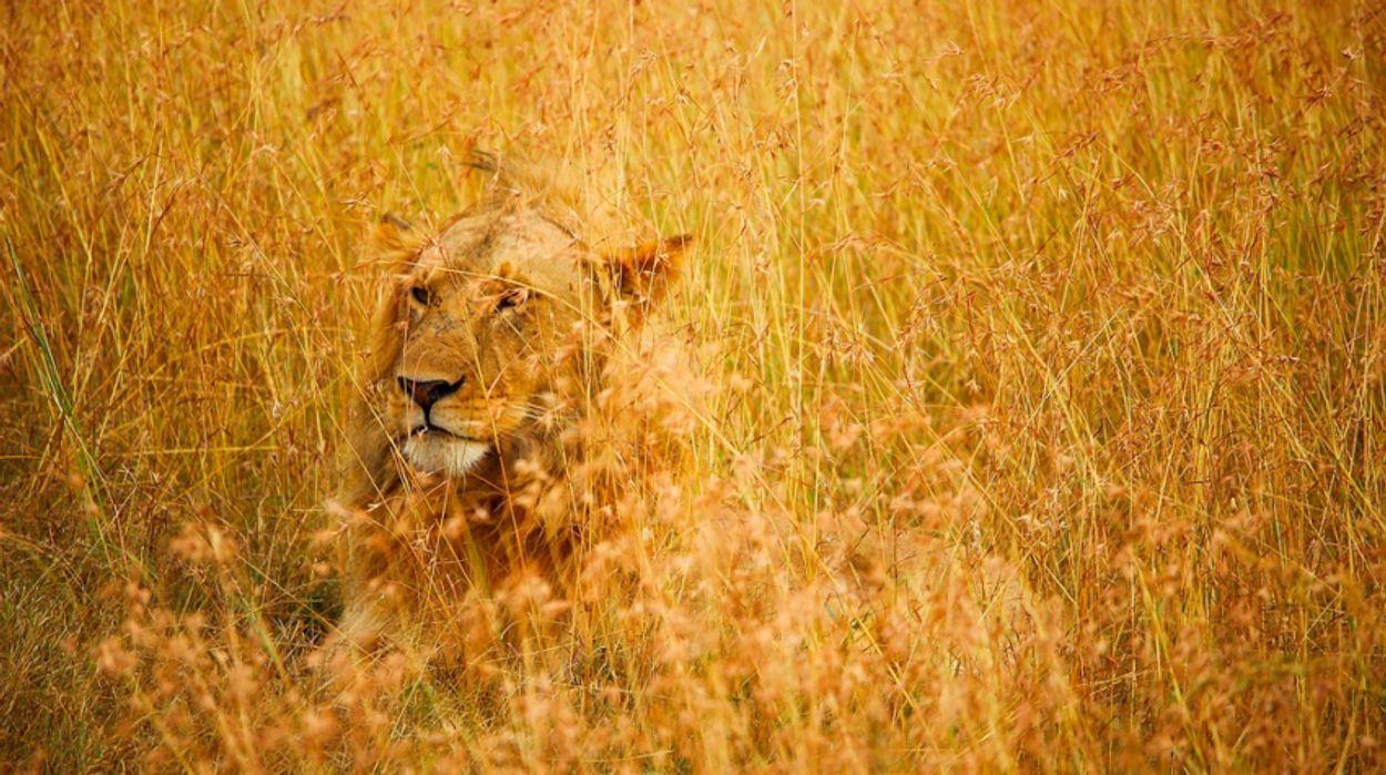 Afbeelding van Op zoek naar harmonie tussen leeuw en mens