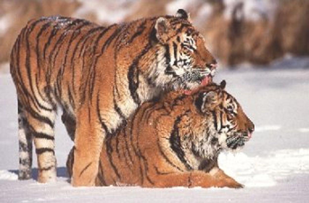 Afbeelding van Houtkapverbod in Russisch tijgergebied in stand