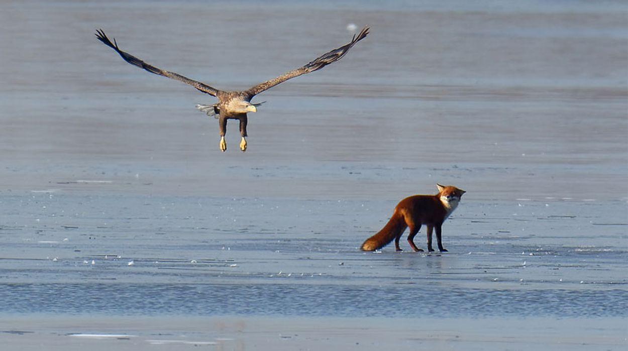 Zeearend en vos op het ijs