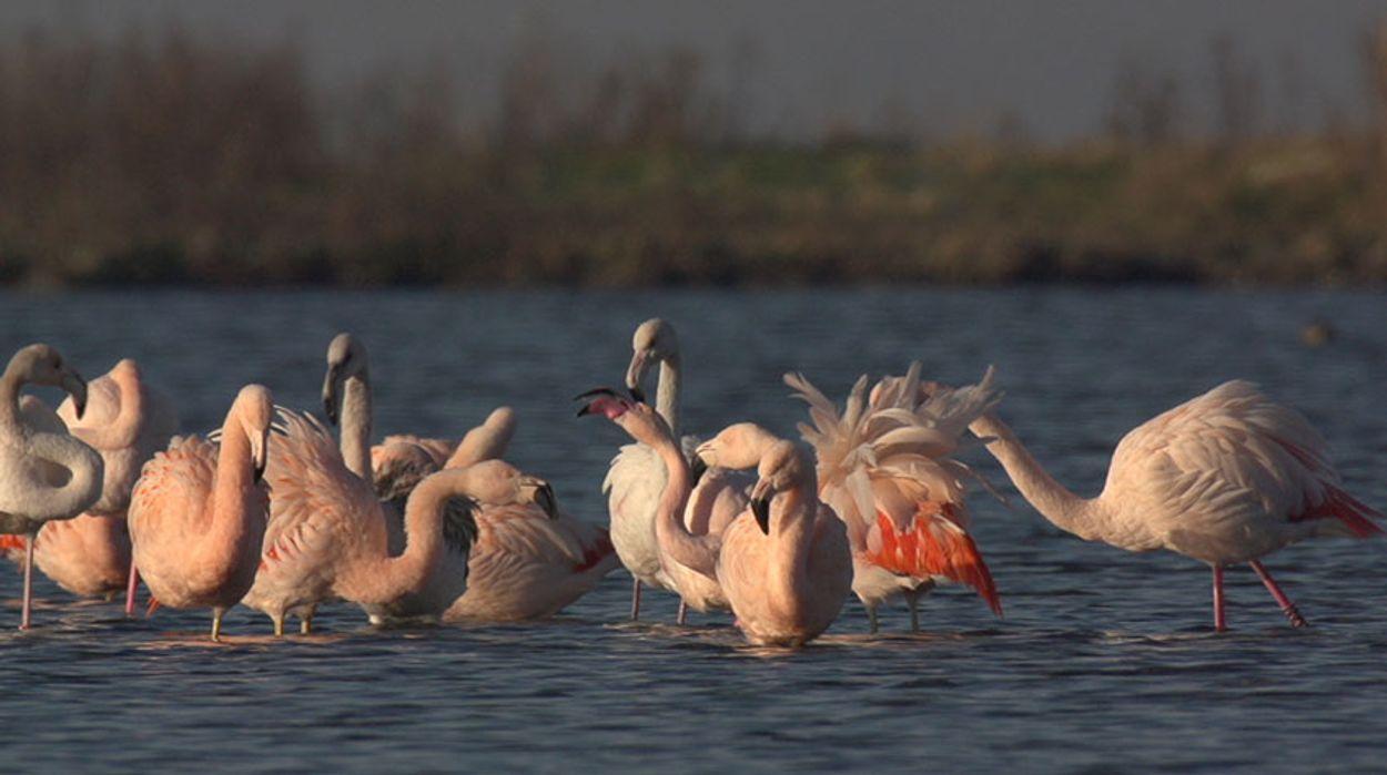 Afbeelding van Flamingo's op het Grevelingenmeer