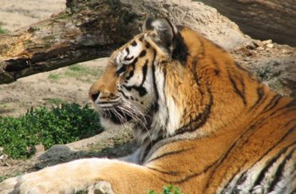 Afbeelding van Bite Back: Ontsnapping tijgers bij Belly Wien toont aan dat dieren niet in een circus horen