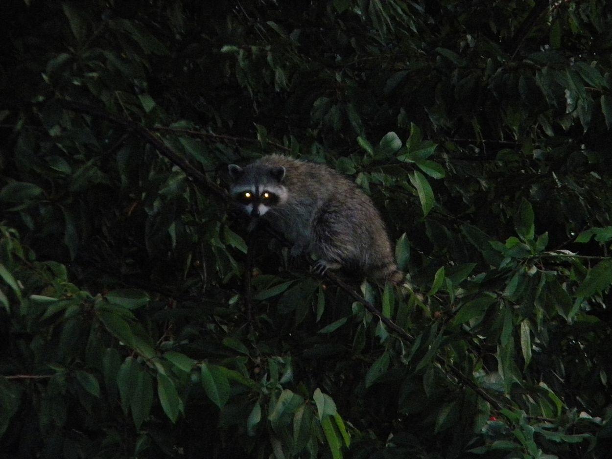 Afbeelding van 'Raak geen dode wasbeer aan'