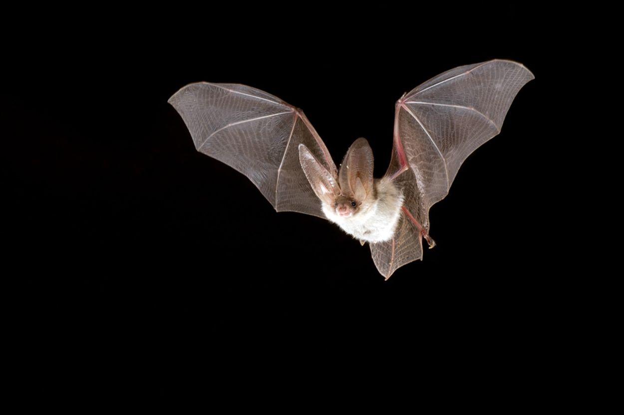 Afbeelding van Zoogdierenvereniging maakt zoekkaart voor vleermuizen