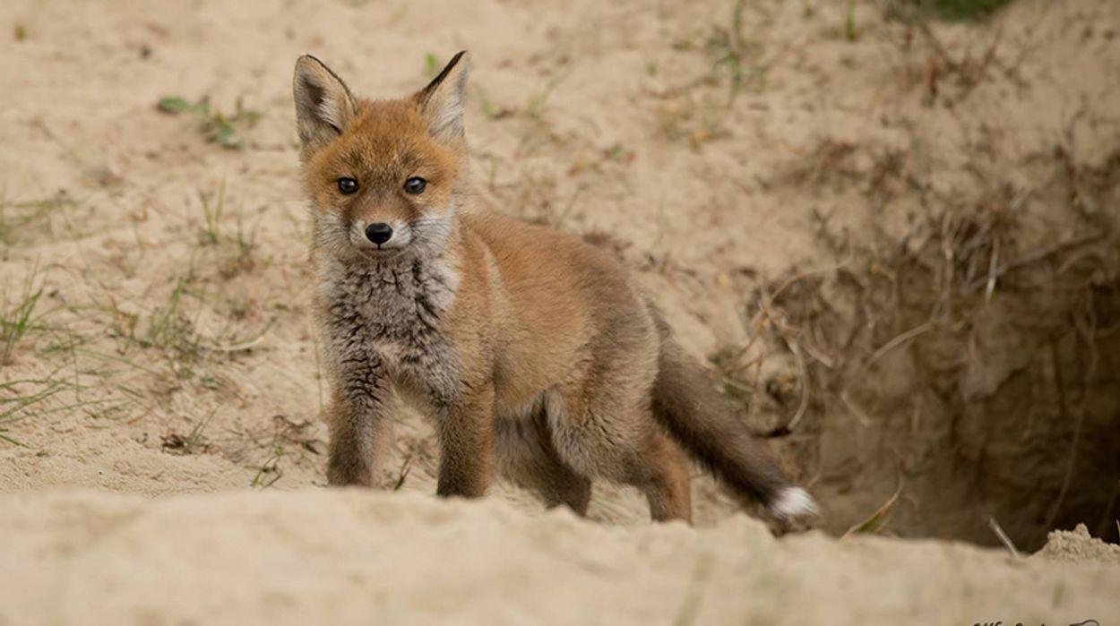 Afbeelding van Massaal doden vossen zal grutto niet redden
