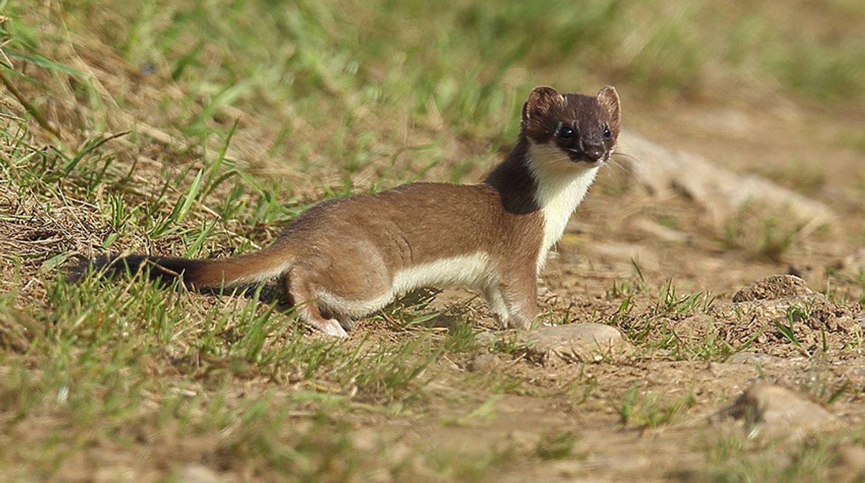 Afbeelding van Noordse woelmuis maaltijd voor hermelijn