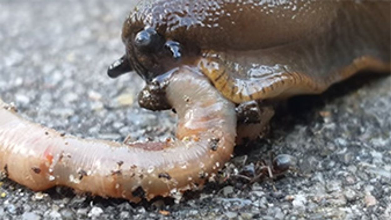 Afbeelding van Naaktslak eet worm