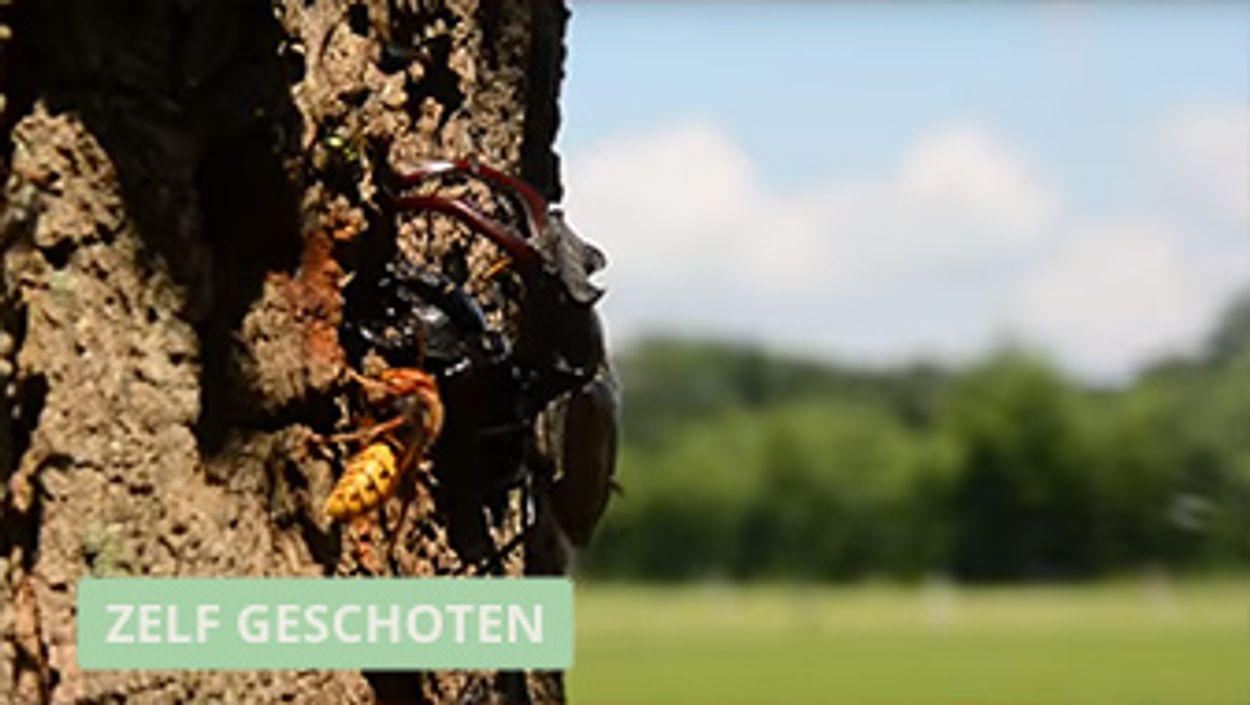 Afbeelding van Hoornaar en vliegend hert