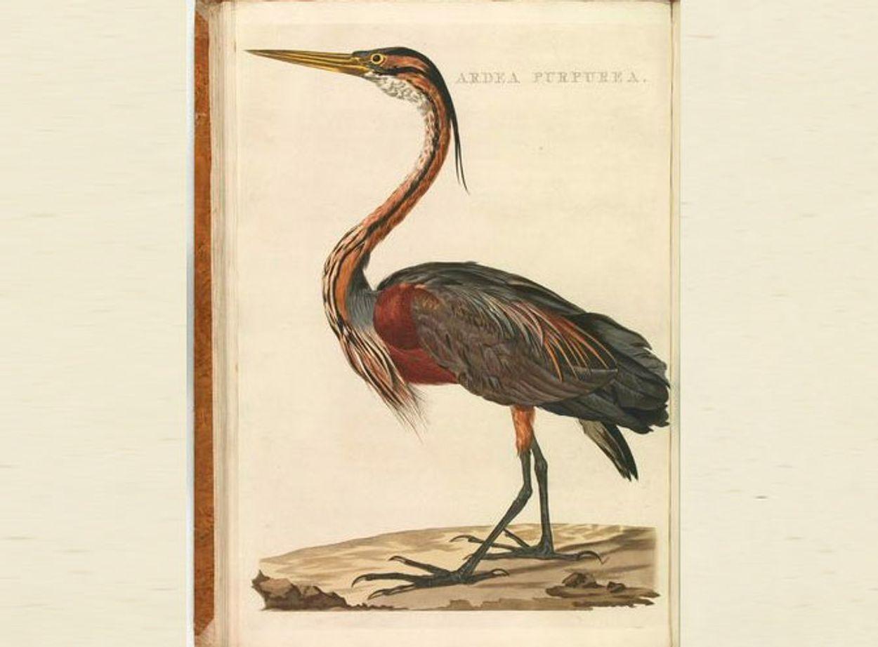 Afbeelding van Nederlandsche Vogelen 1770-1829
