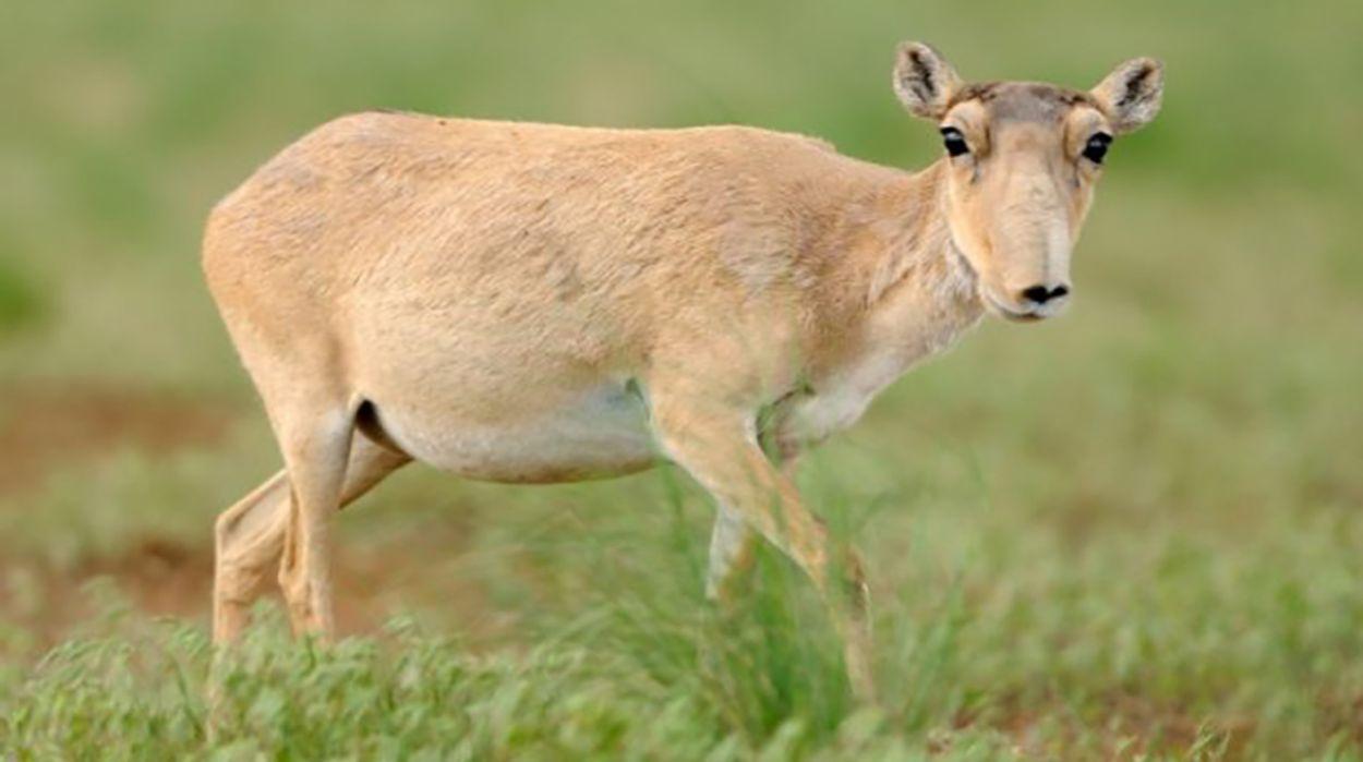 Afbeelding van Epidemie treft zeldzame saiga-antilopen in Mongolië