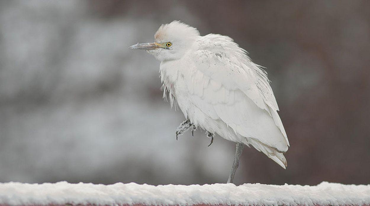 koereiger-sneeuw---jvbeilen