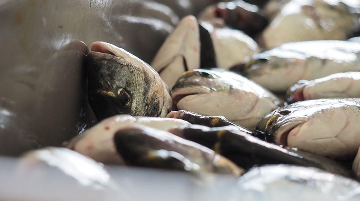 Afbeelding van Onderzoek toont gruwelen Europese viskwekerijen