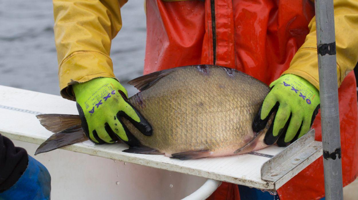 Afbeelding van Vissen wegen en tellen in het Naardermeer