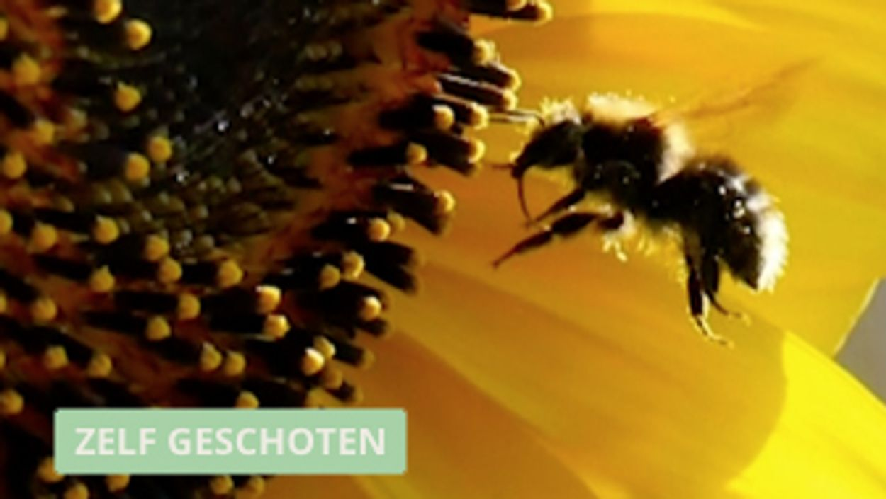 Afbeelding van Bij bezoekt een zonnebloem (in slowmotion)