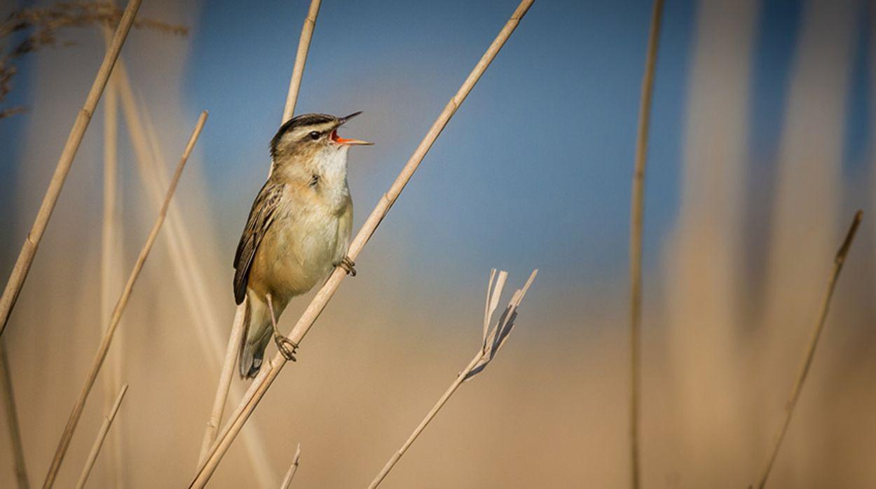 Afbeelding van Cursus vogelzang: de rietzanger