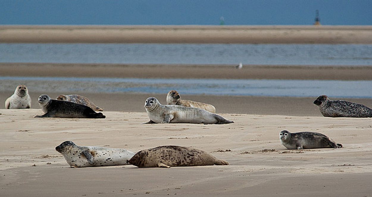Afbeelding van Vraagbaak: hoe diep duikt een zeehond?