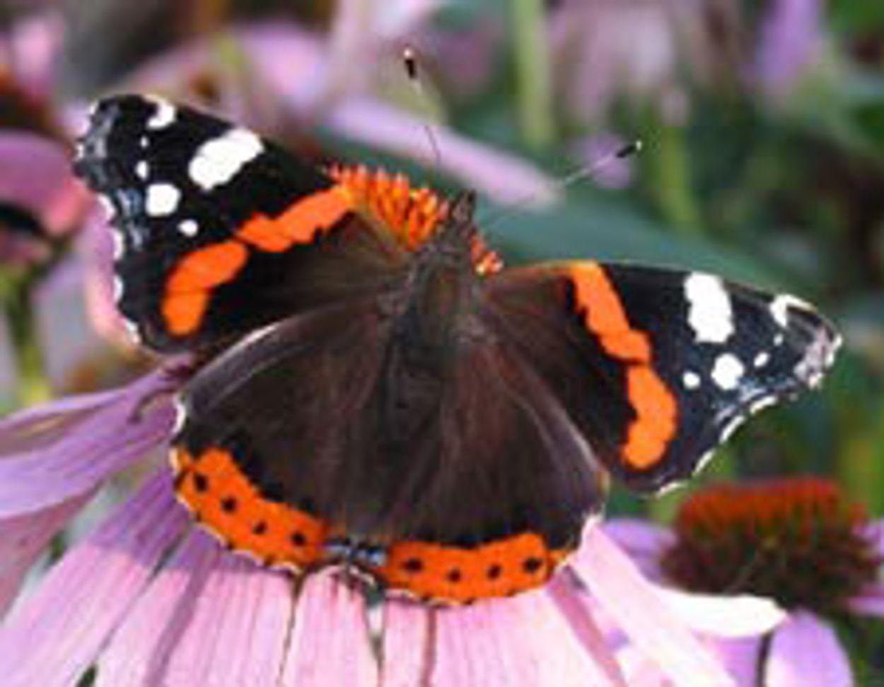 Afbeelding van Tip: Waardplanten voor vlinders (1)