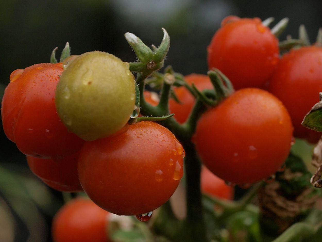 Afbeelding van Kijk uit voor deze zeldzame tomateneter