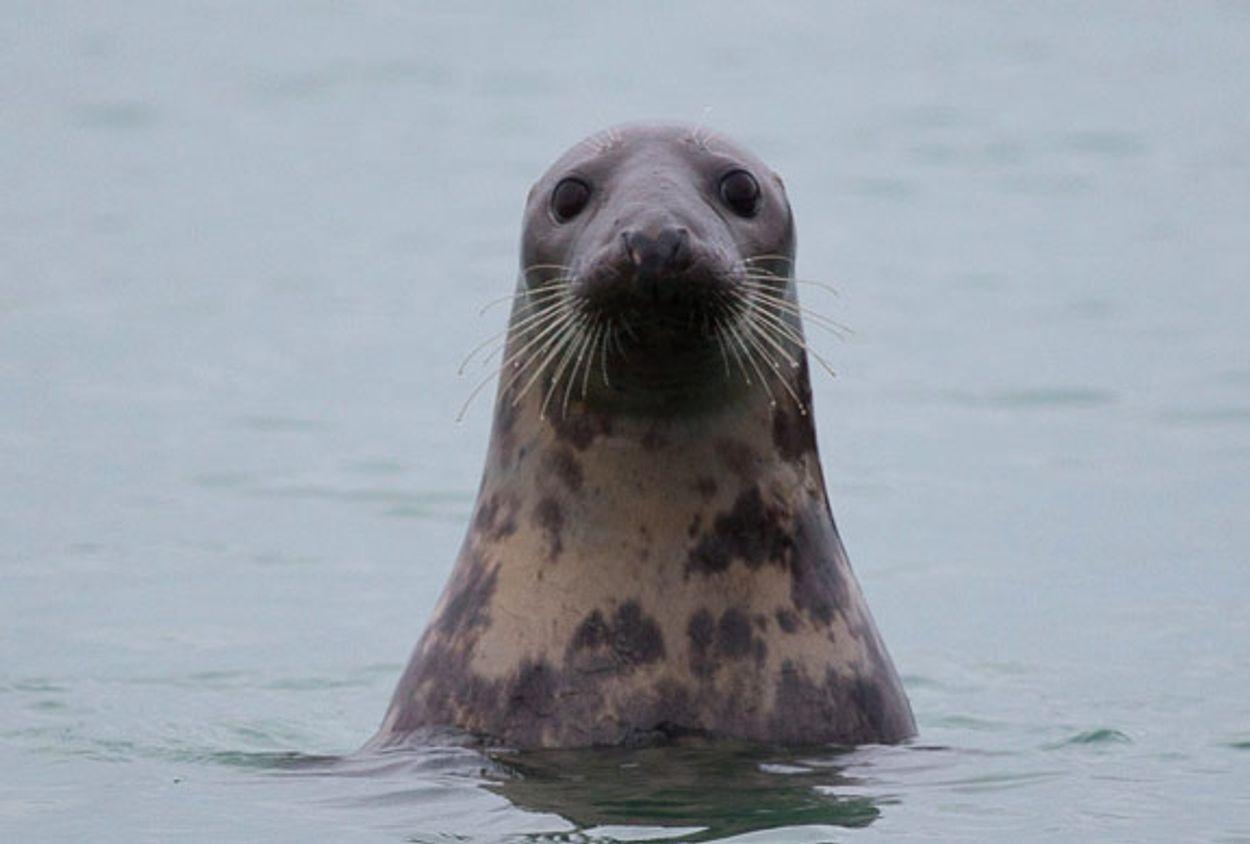 Afbeelding van Belgische zeehondenrustplaats gezonken