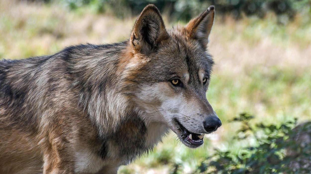 Afbeelding van Veel meer schapen gedood door wolven