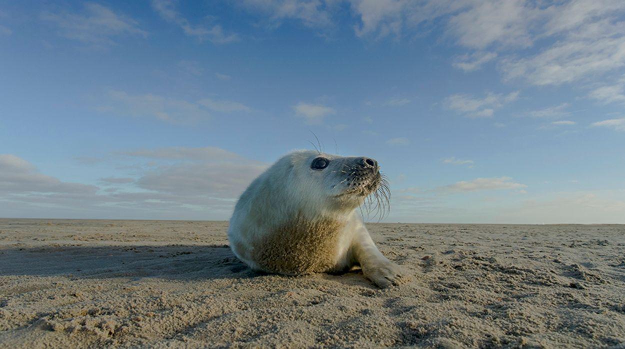Afbeelding van Geboorte zeehond gefilmd