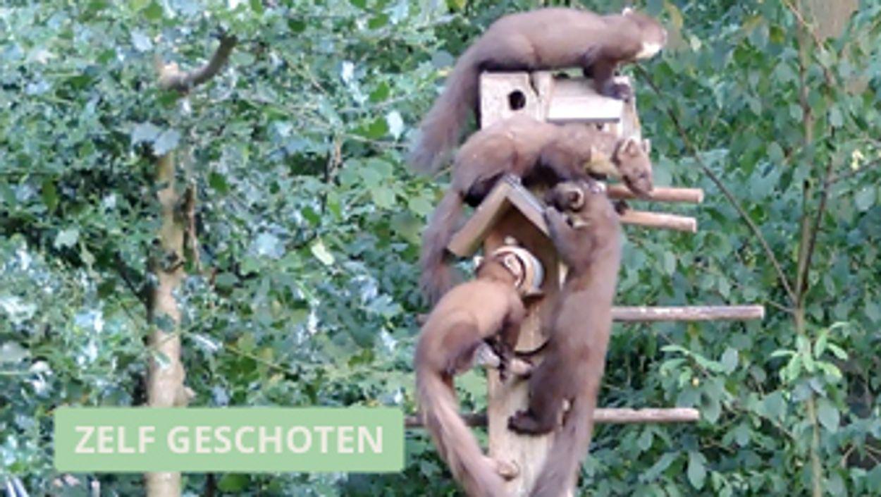 Afbeelding van Vijf boommarters smullen van de vogelpindakaas