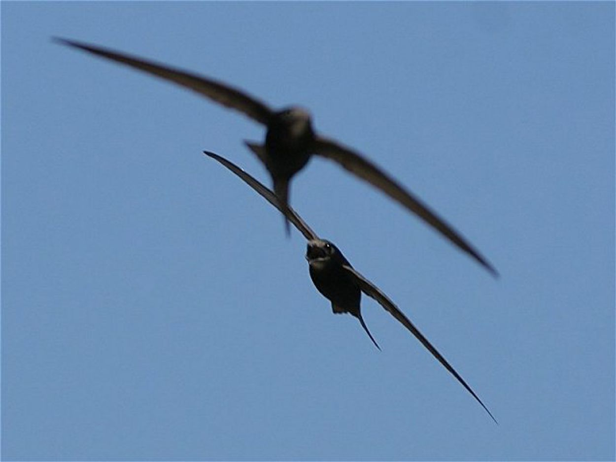 Afbeelding van Gierzwaluw doet alles in de lucht
