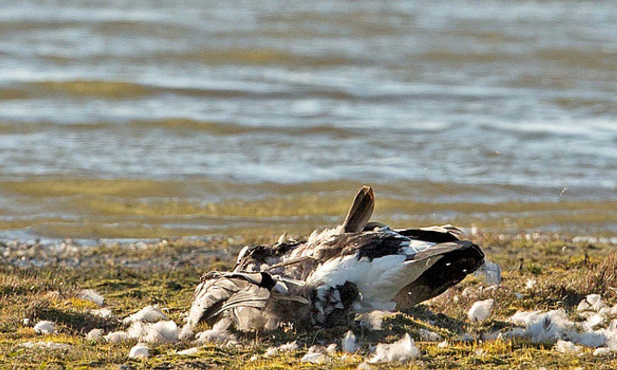 Afbeelding van Dode vogels met vogelgriep in Friesland