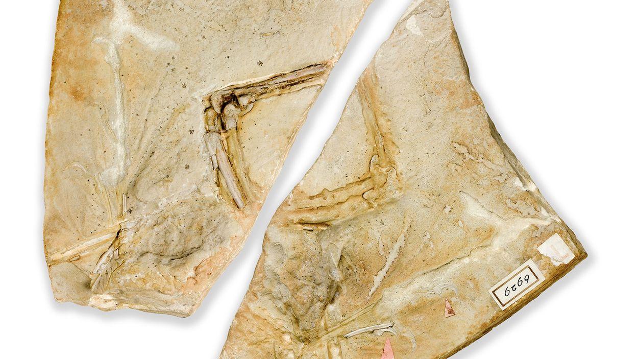 Afbeelding van Nieuwe 'oervogel' voor Teylers