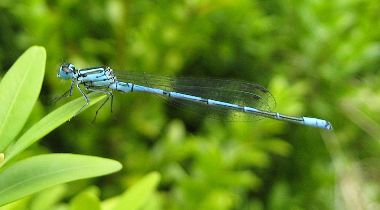 Afbeelding van Blauwe juffers bij je tuinvijver