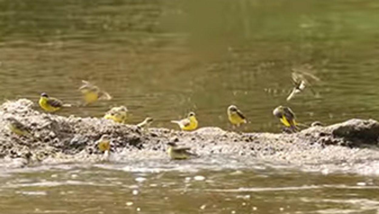 Afbeelding van Badderende gele kwikstaarten