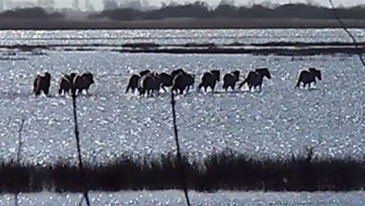 Afbeelding van Zelf geschoten: wadende konikpaarden