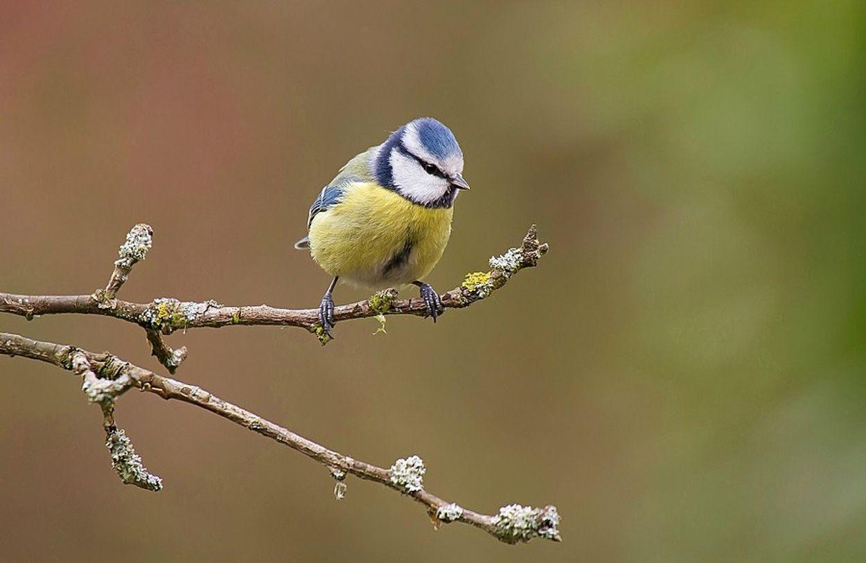 Afbeelding van Cursus vogelzang: pimpelmees
