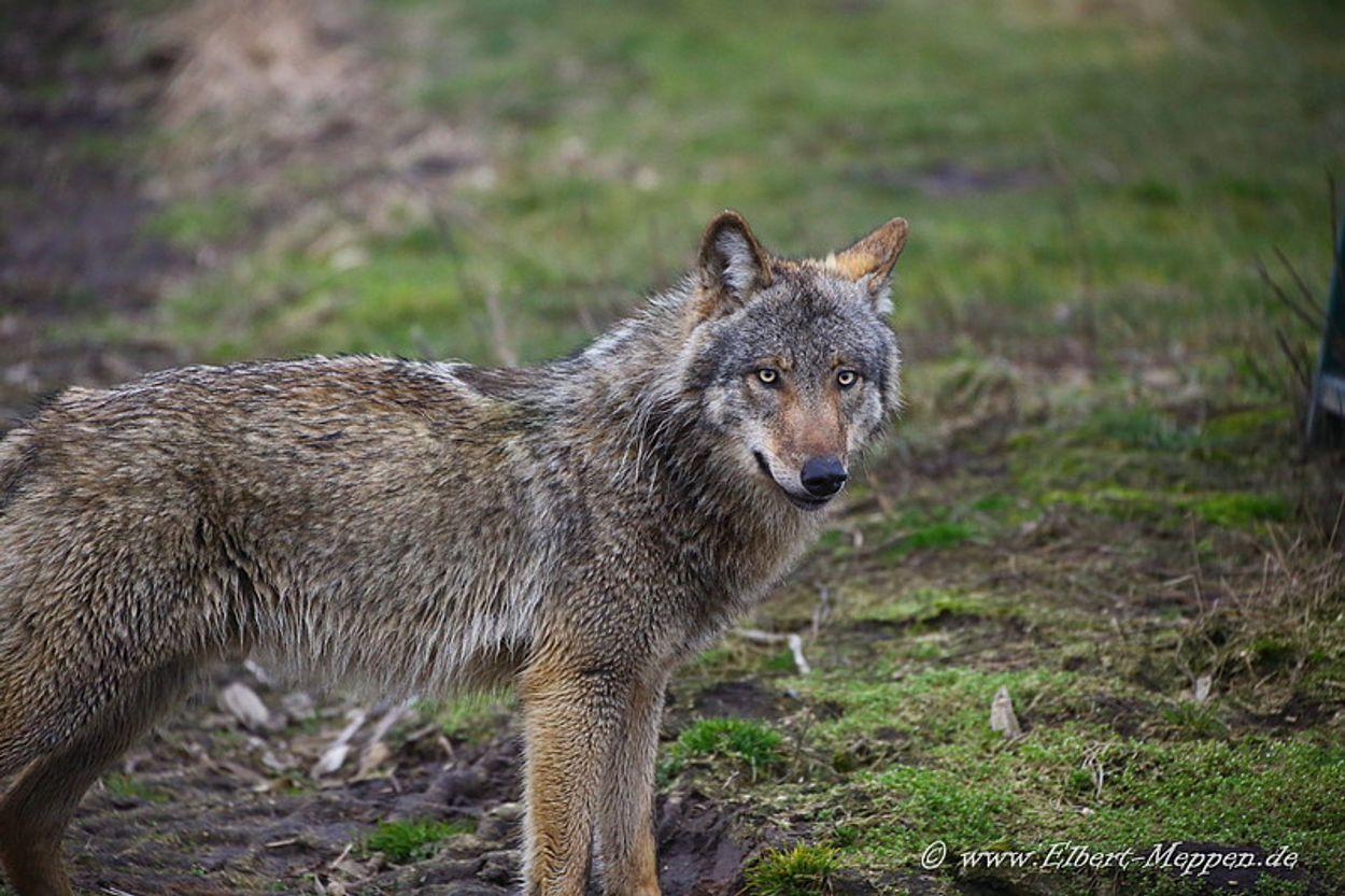 Afbeelding van Weinig schade door Duitse wolven
