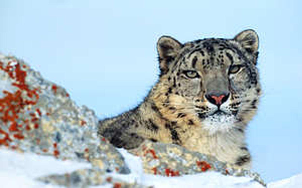 Afbeelding van Betere bescherming sneeuwluipaard