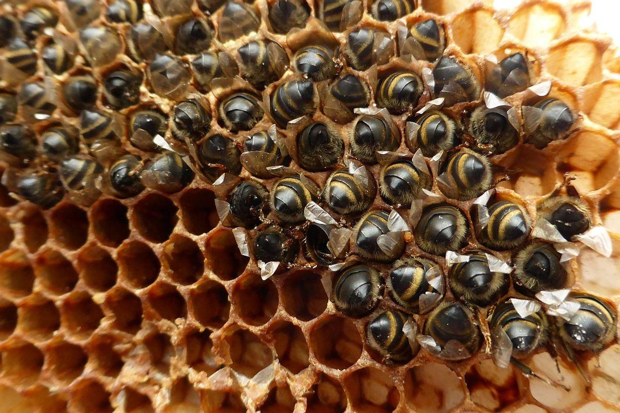 Afbeelding van Sierplantenkweker op de korrel om dode bijen