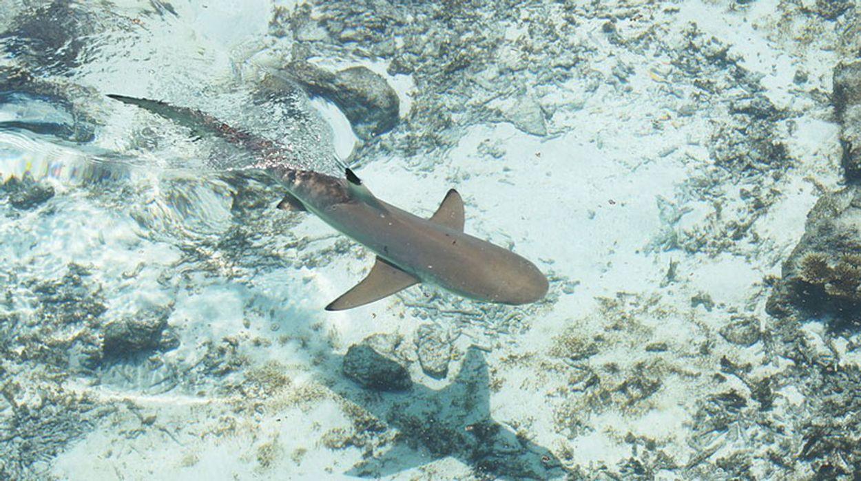 Afbeelding van Honderden dode haaien aangespoeld in Iran