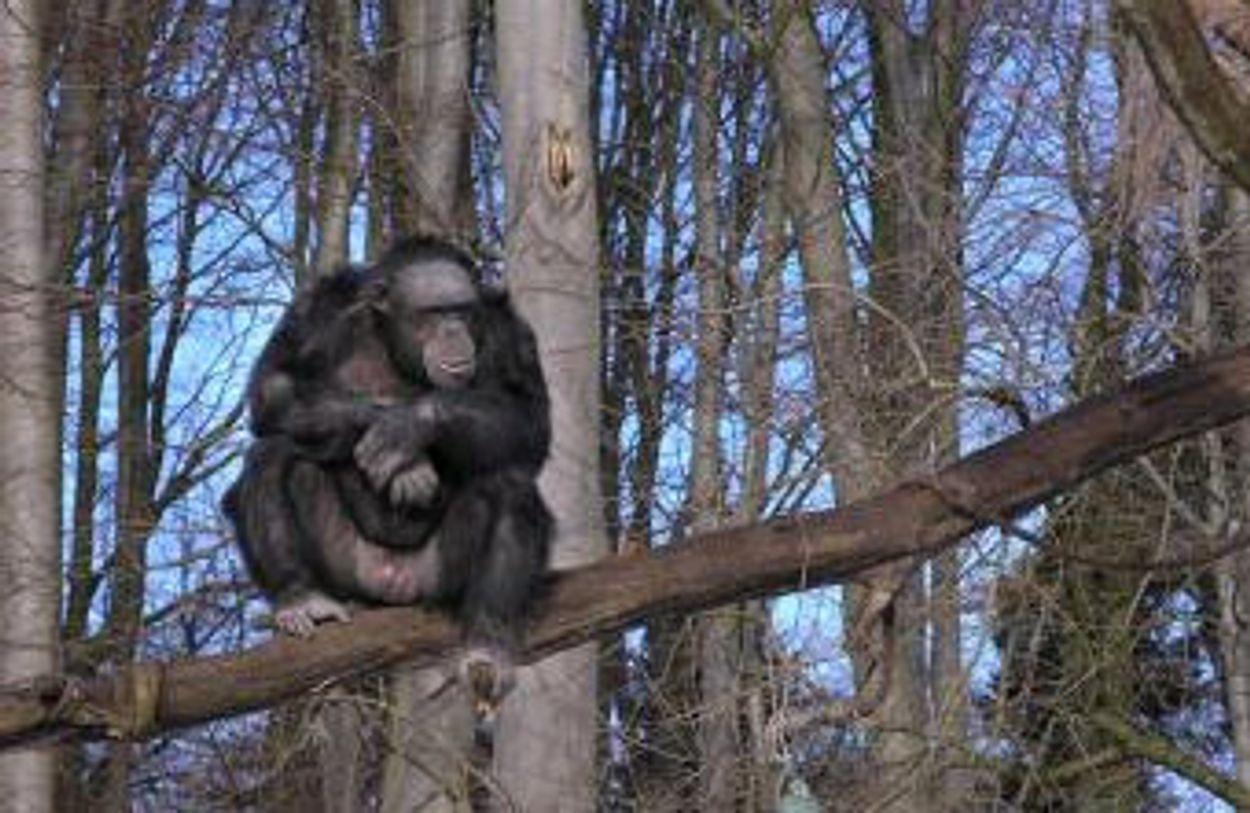 Afbeelding van Chimp-schilderijen geveild voor 21.000 euro