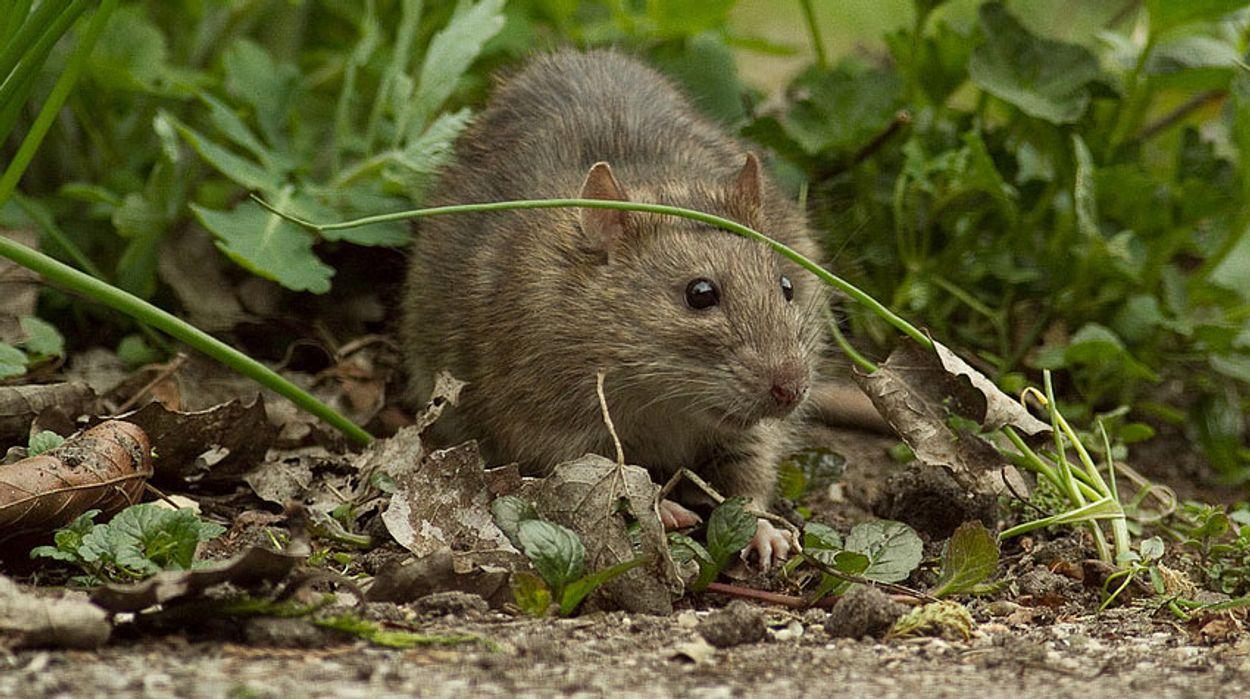 Afbeelding van Prachtige ratten
