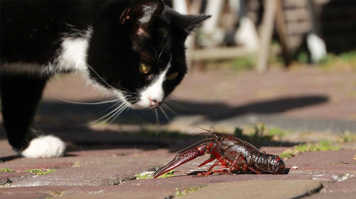 Kat met rivierkreeft