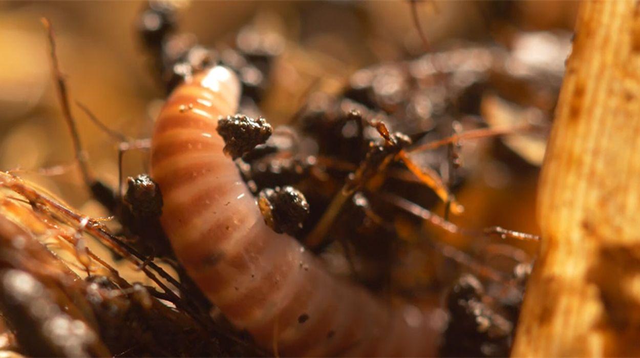 Afbeelding van Worm ingezet als vuilnisman