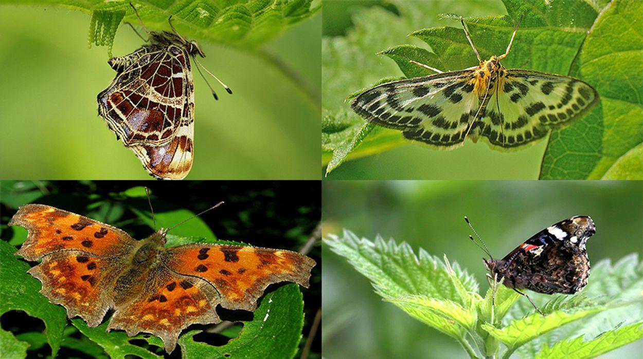 vlinders op brandnetel