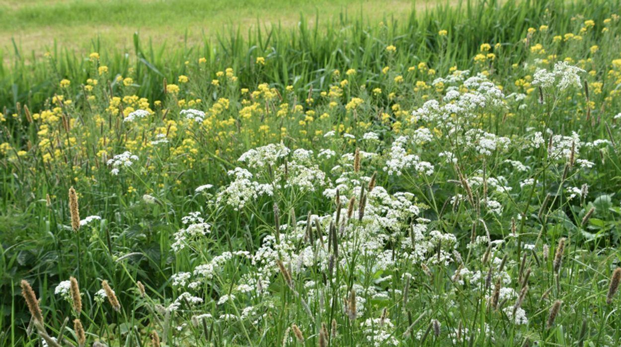 Afbeelding van Kijk uit met inzaaien bloemenmengsels, beheer doet meer